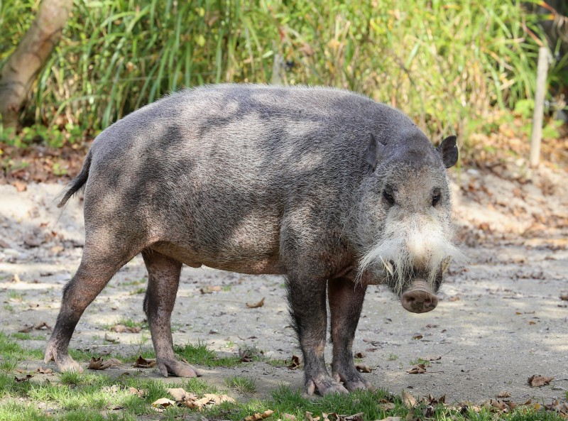 The excellent Bearded Pig. Image by Rufus46 via Wikimedia.
